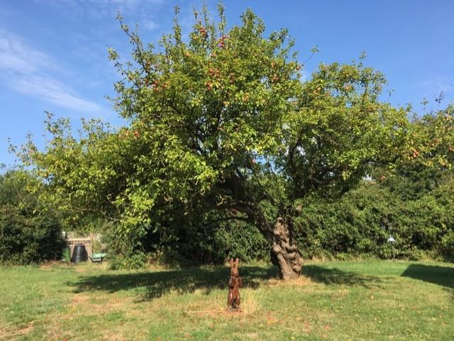 thumbnail_150 yr old apple tree w fruit.