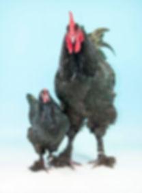 Prize-winning Croad Langshan birds