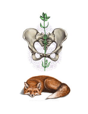 Fox with Pelvis and Thyme.jpg