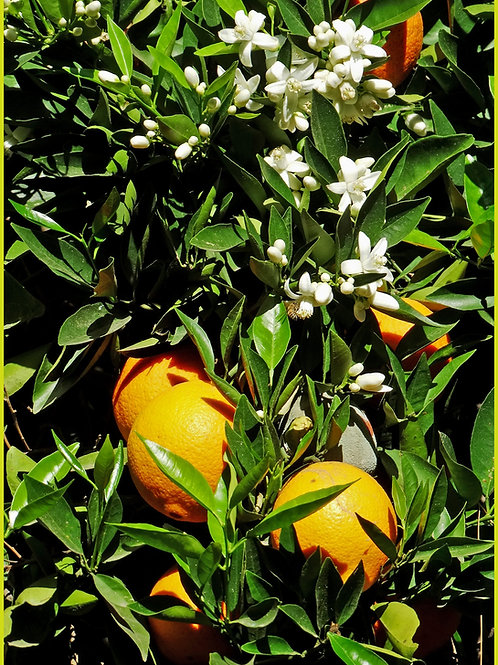 Orange Blossom 8 oz Tin Container Candle