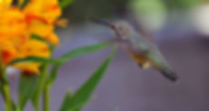 Hummingbird%20Astramelia%20copy.jpg