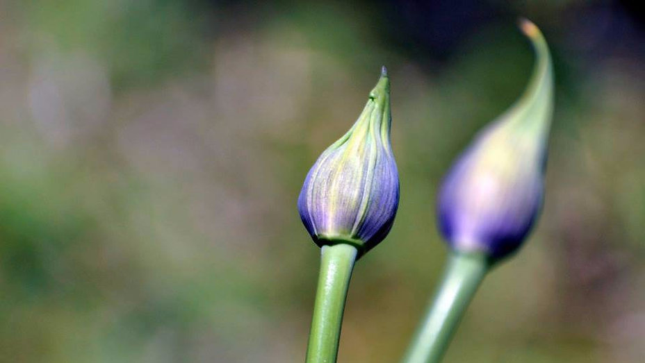 Agapanthus Buds copy-flipped_edited.jpg
