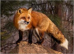 Fox on a Rock