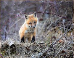 Foxy Baby