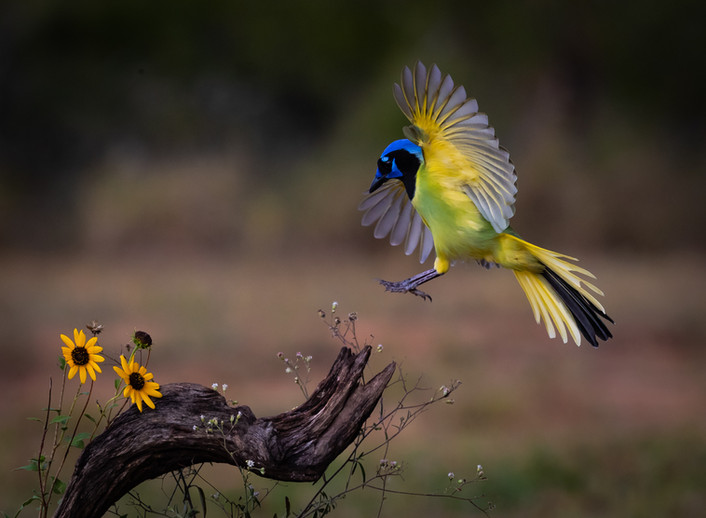 Green Jay Landing By Chuck Guedelhoefer-Award and POM Large Color A
