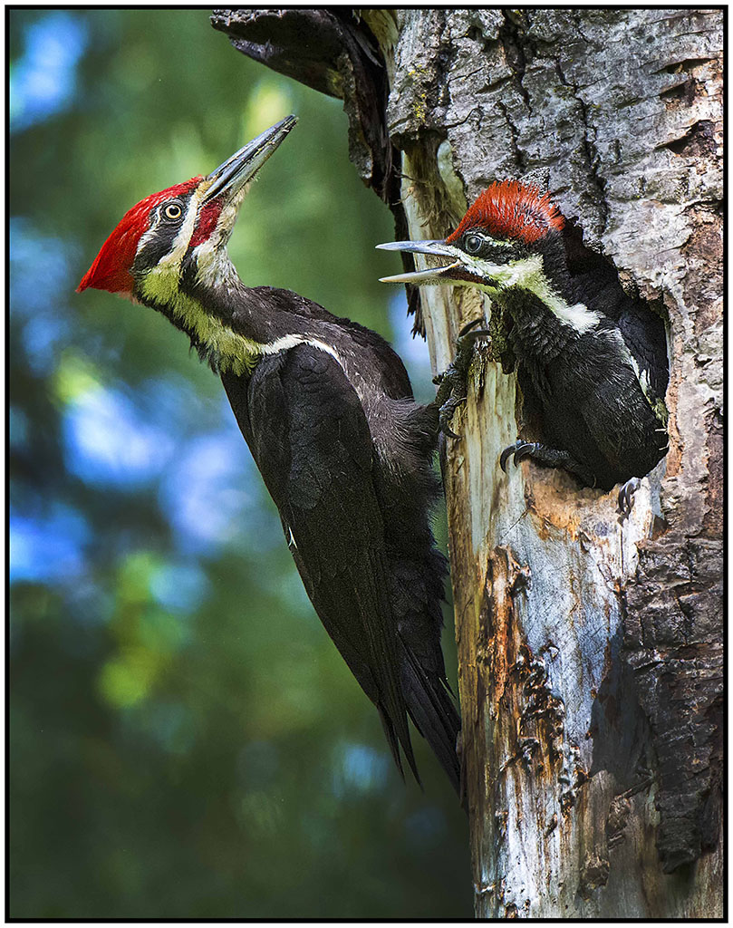 Pileated Woodpecker's Nest