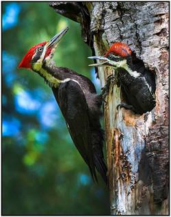 Pileated Woodpecker's Nest