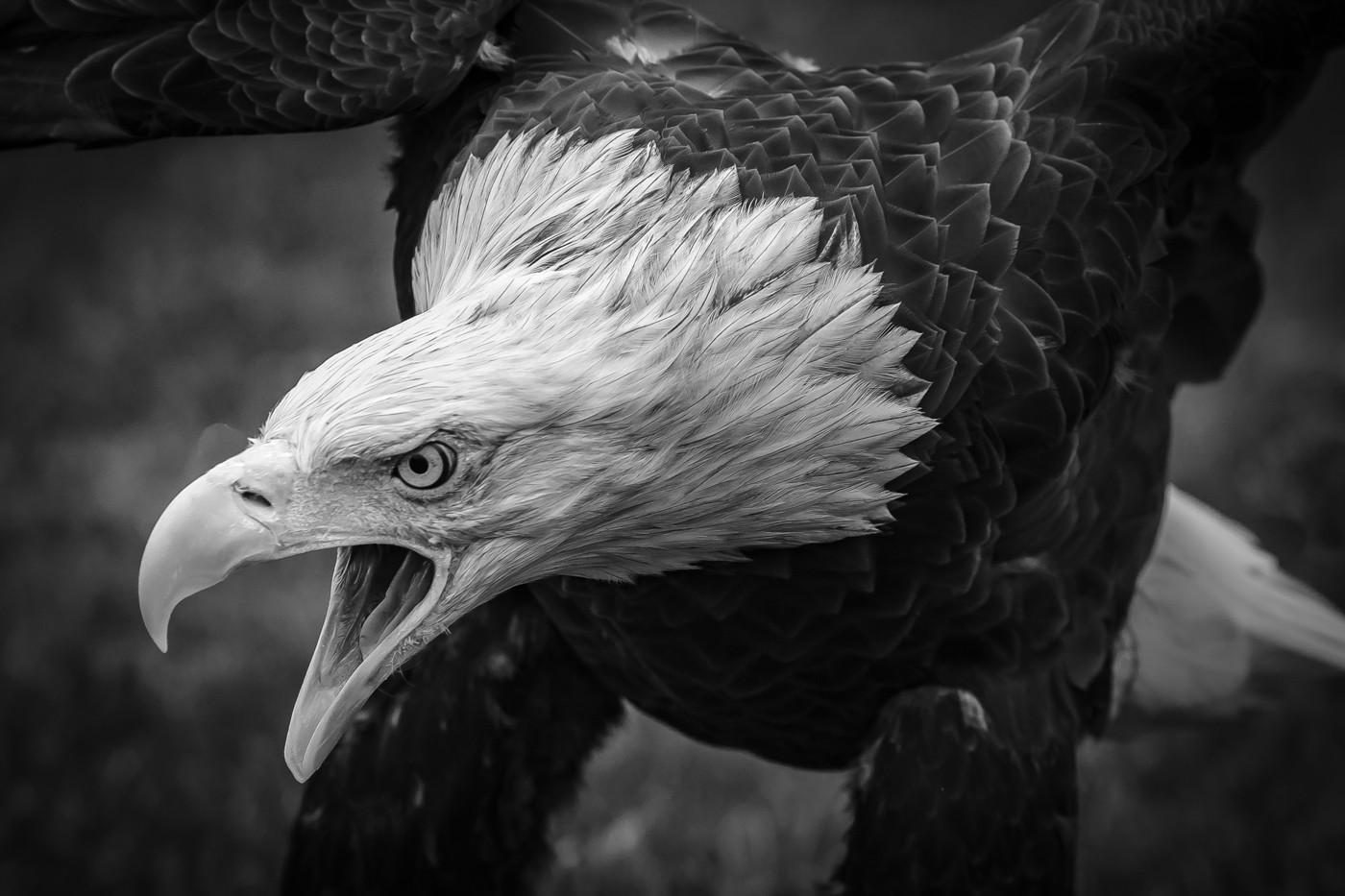 Screamn' Eagle