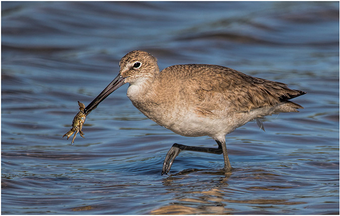 Willet with Lunch