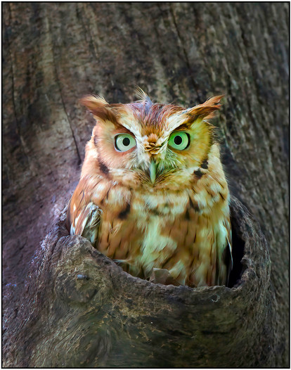 AW-NAT_Arnold Koenig_Eastern Screech Owl_A.jpg