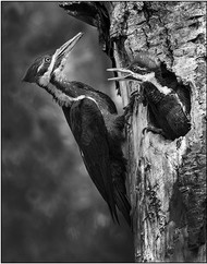 Pileated Woodpeckers Nest