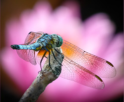 Dragonfly over Water Lily