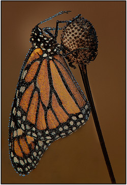 Monarch Of The Morning Dew