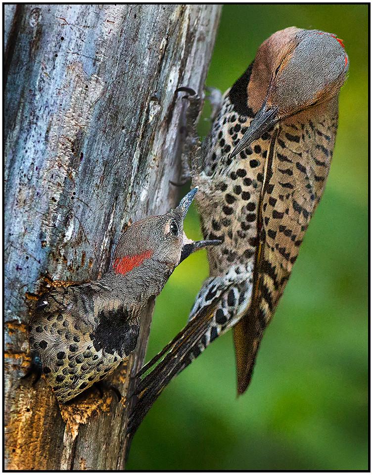 Northern Flicker Nest