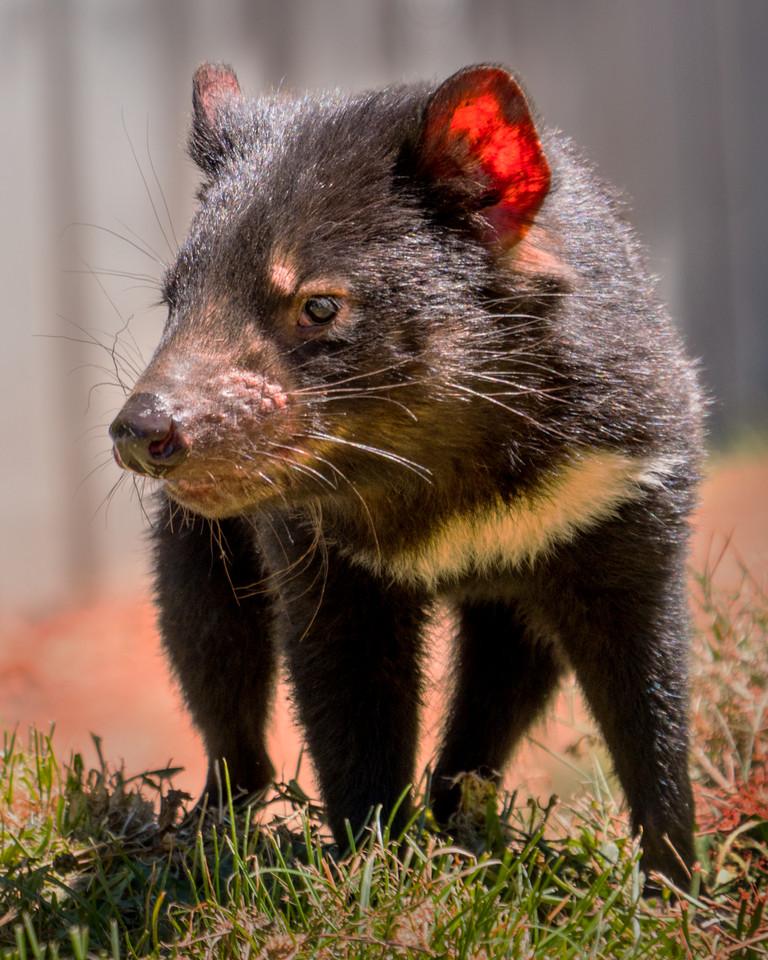 Genuine Tasmanian Devil