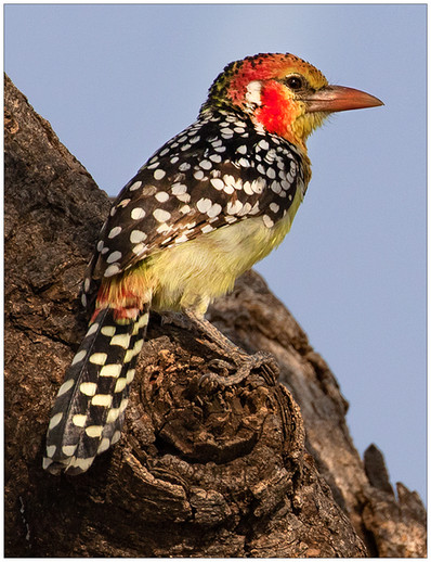 Red and Yellow Barbet By Janet Schleeter HM Class AA