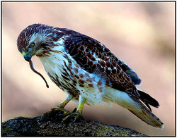 Red Tailed Hawk With Snaker