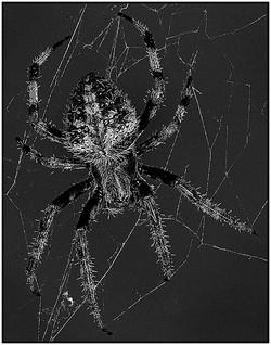 Arnold Koenig Barn Spider