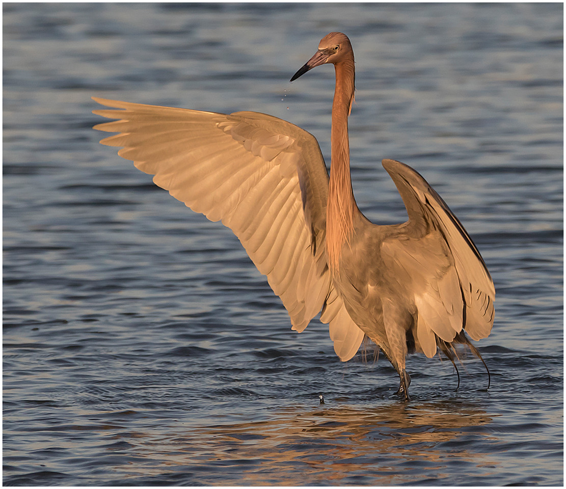 Reddish Egret at Dusk By Banet Schletter  Award Class AA