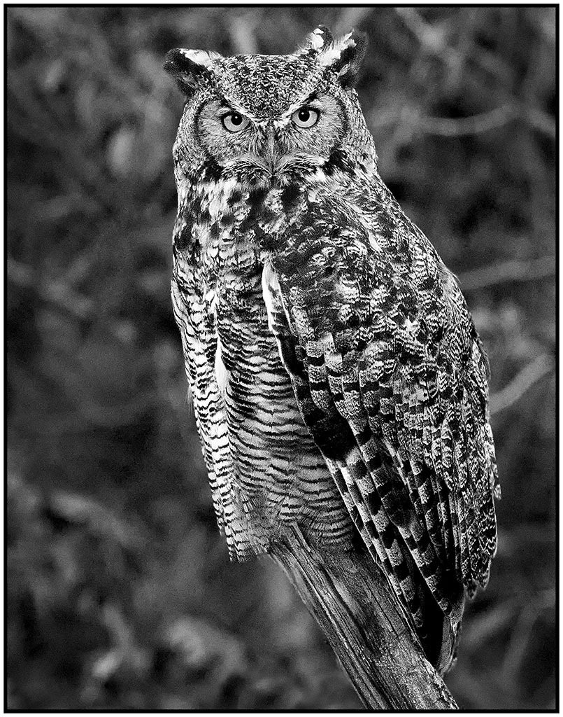 Great Horned Owl Yellowstone NP