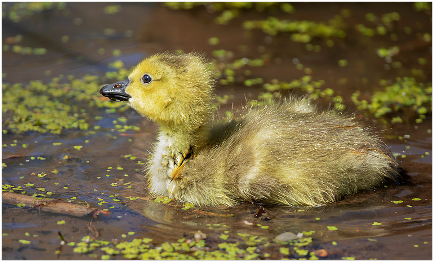 Little Goose in Duckweed