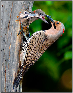 Northern Flickers Nest