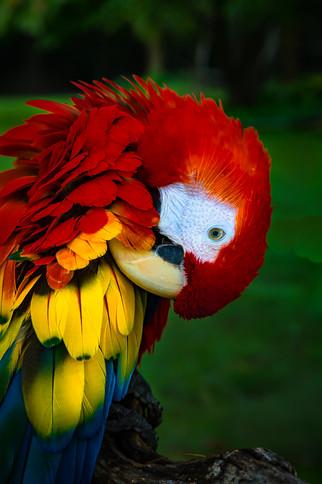 Bashfull Scarlet Macaw