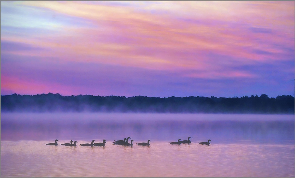 Geese in the Morning Mist