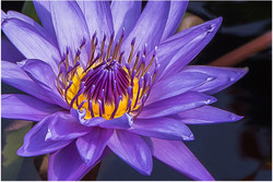Electric Water Lily