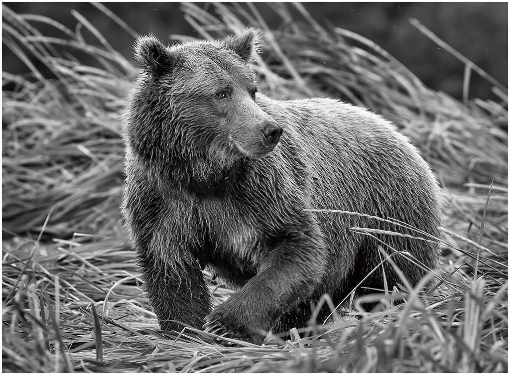 Watchful Bear