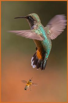 Bee Shoos Hummer