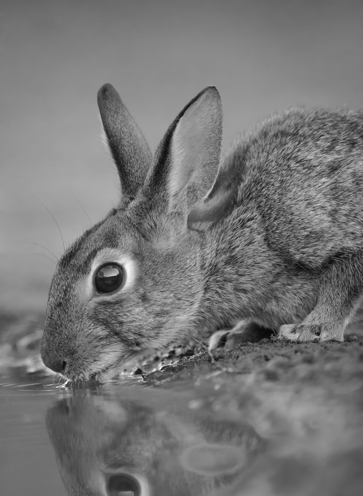 Thirsty Bunny By Chuck Guedelhoefer Award Small Mono A