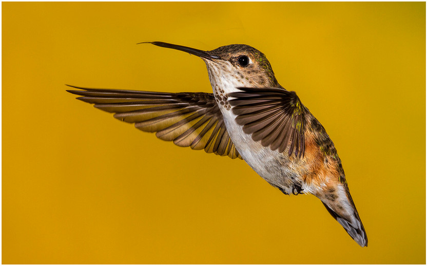 Lady Hummer By Janet Schleeter HM Small Color Class A