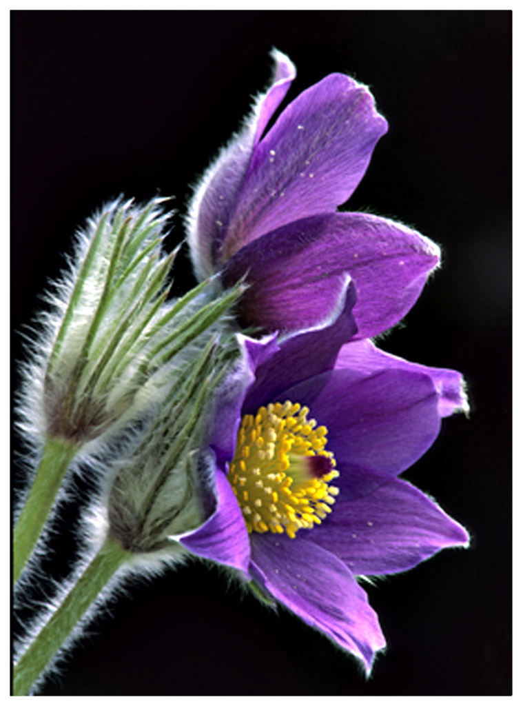 Pasqueflower Profile