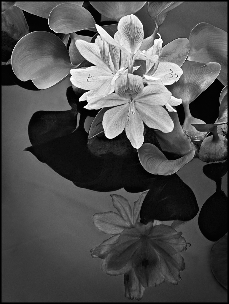 Water Hyacinth and Reflection