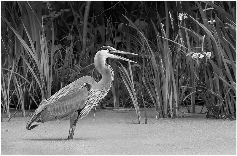 HM_Janet Schleeter_Hunting Heron_A.jpg