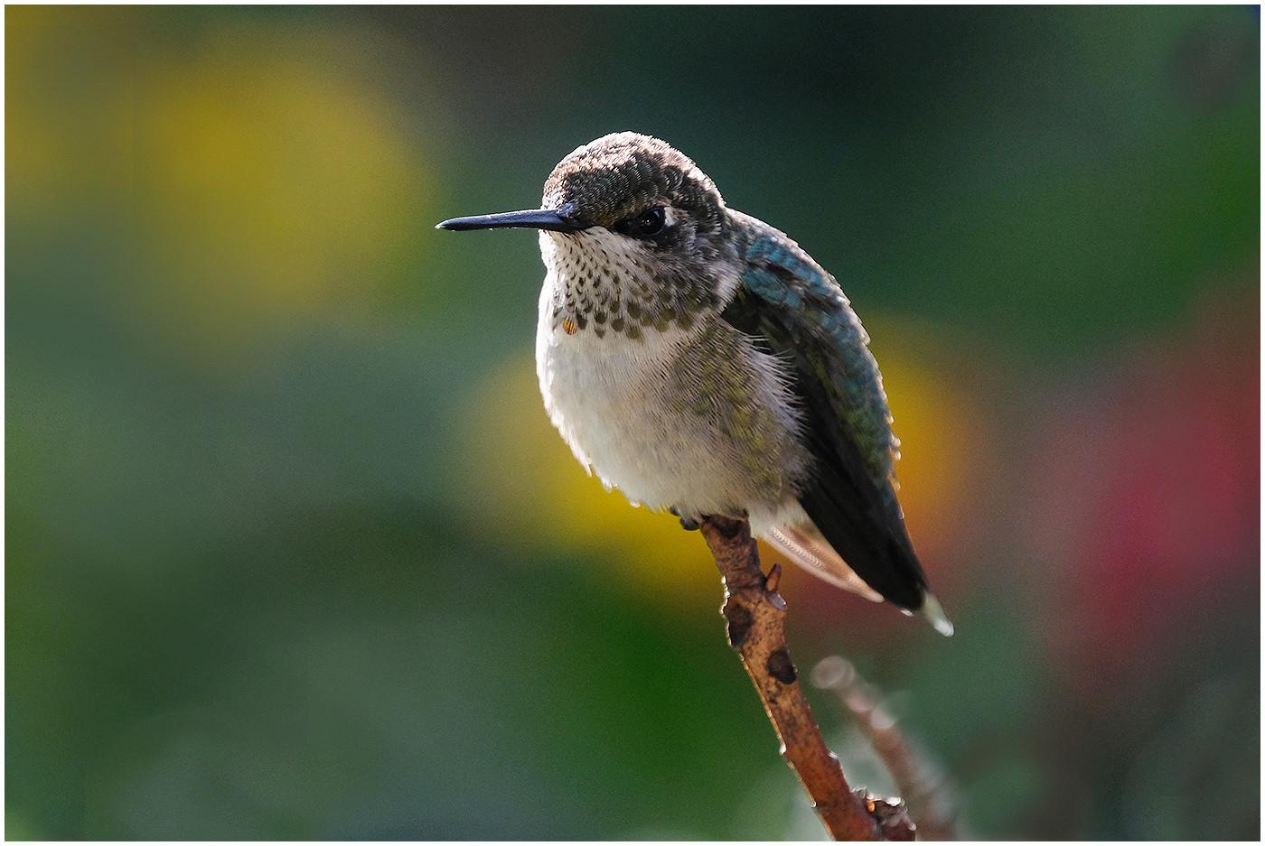 Humming Bird1  By Sunny Park  HM Class B