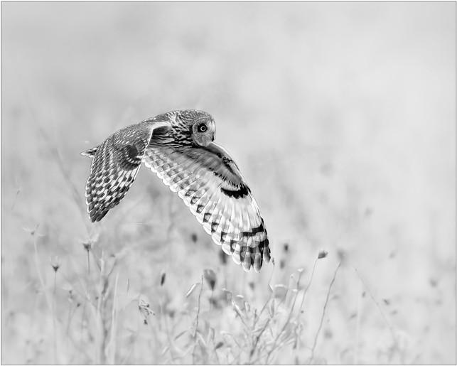 Short-eared Owl of the Prairies