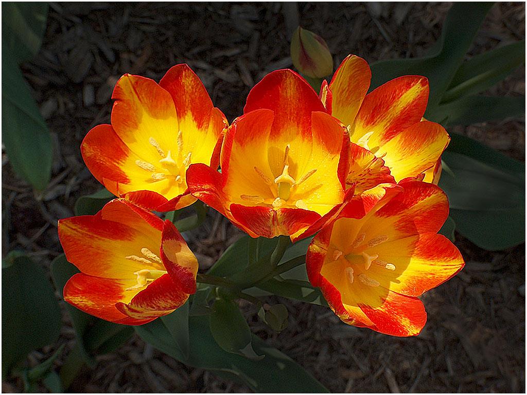 Spray of Tulips