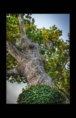 Mottled Tree