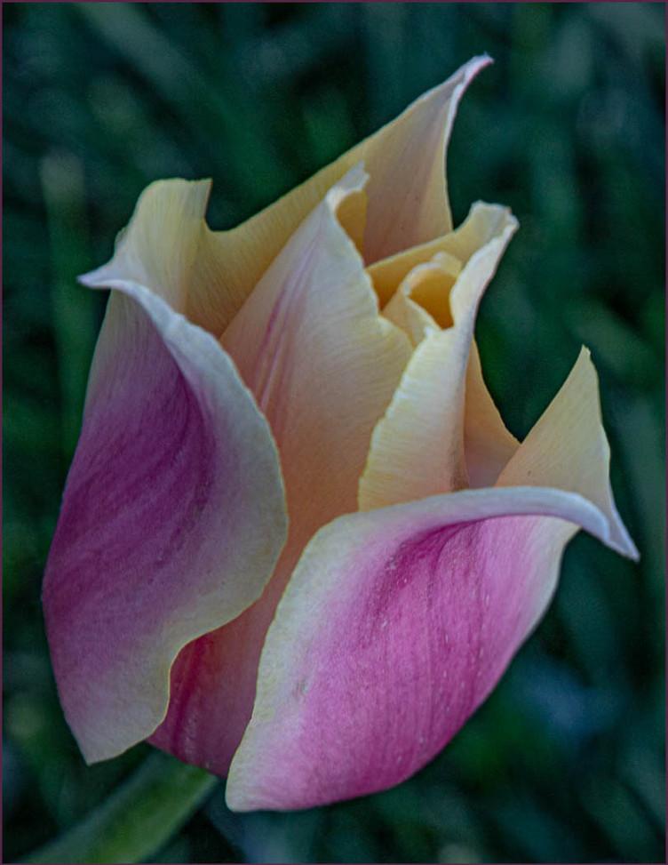 Tulip Simplicity By Pamela  Meyers HM lass B