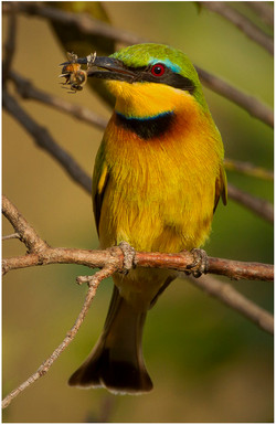 Little Bee Eater with Bee