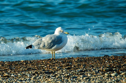 Bird Michigan Beach