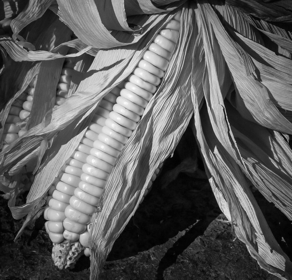 Inca Maize