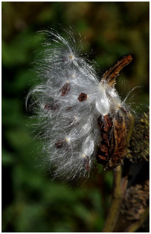 September Milkweed