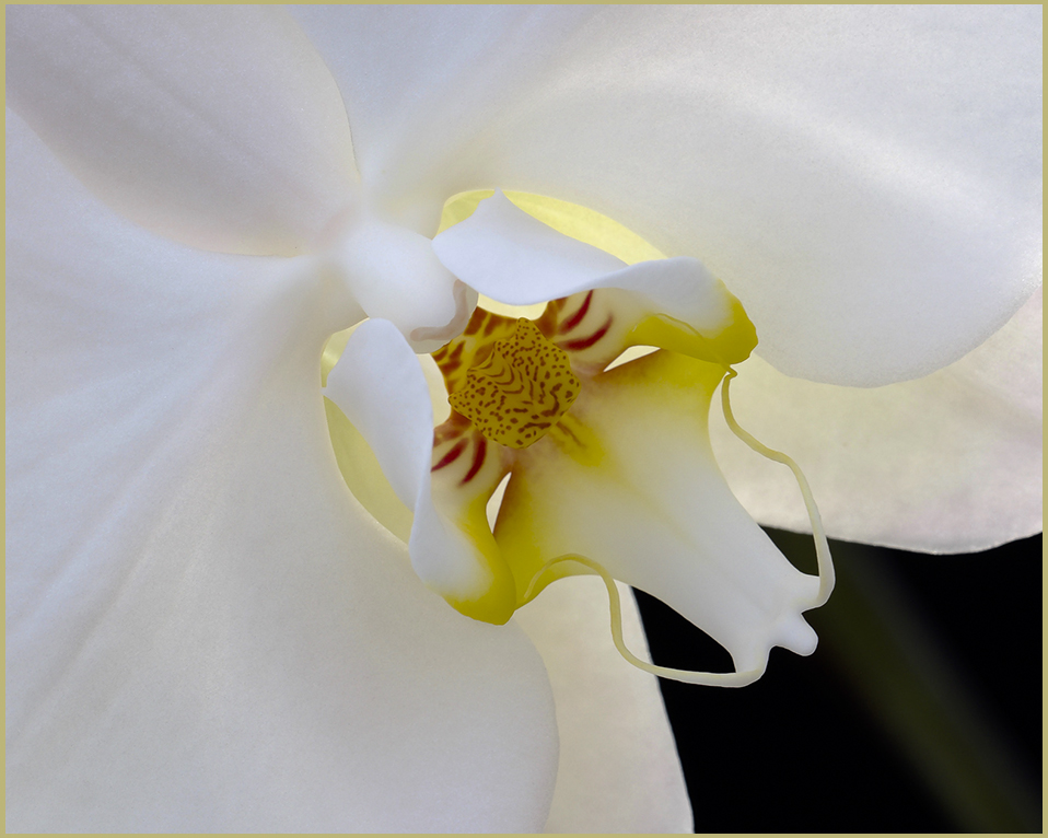 White Orchid Beauty