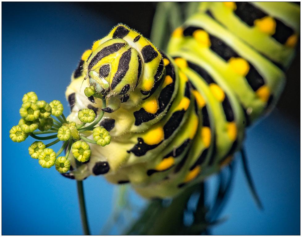 Swallowtail Catipiller