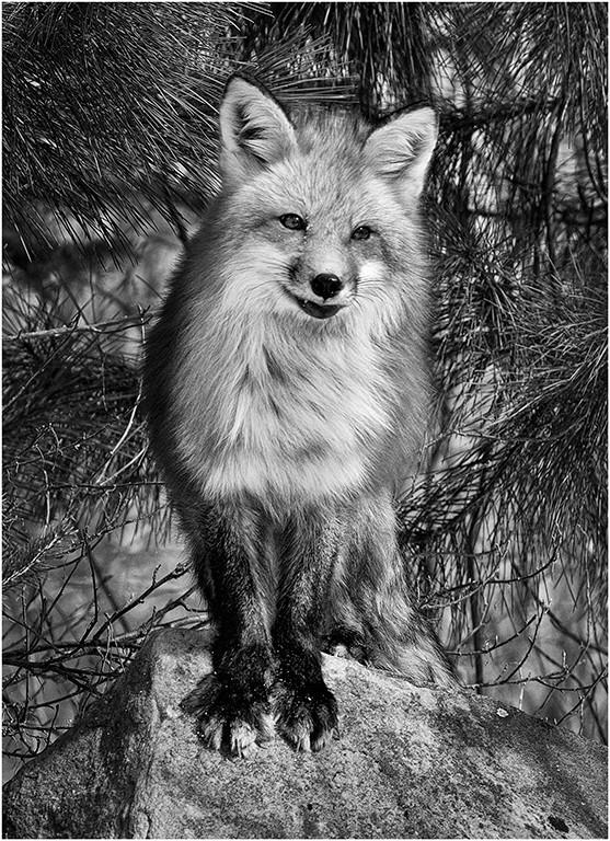 Furry Fox
