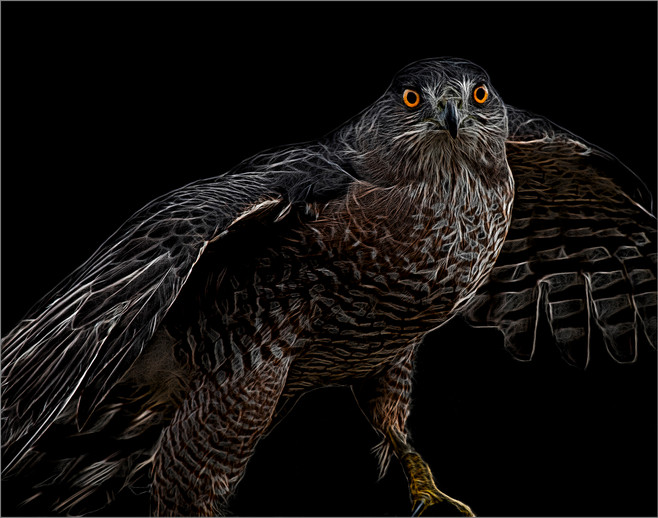 Coopers Hawk By David  Kasnick BOS Class A