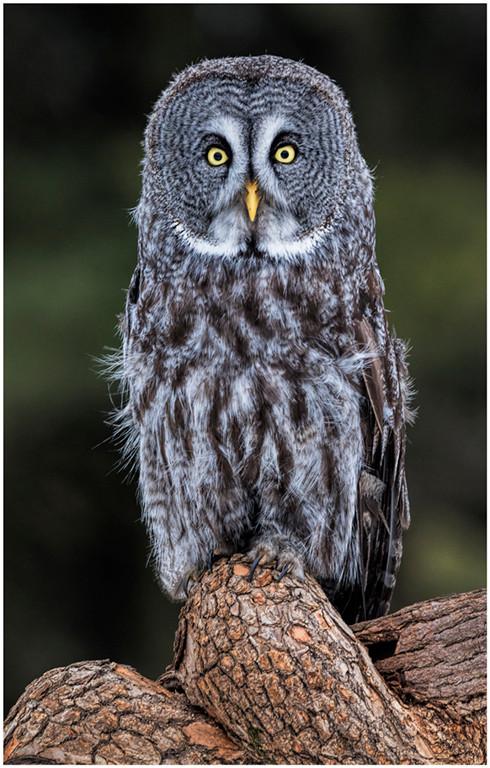 Great Gray Owl-By Janet Schleeter-POM-Ss